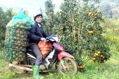Nông dân xã Khánh Hòa thu hoạch cam.