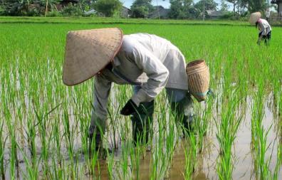 Nông dân xã Đông Cuông bón phân viên dúi sâu cho lúa.