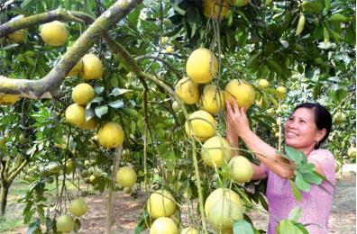 Cây bưởi đặc sản ở Đại Minh đang mang lại nguồn thu lớn cho người dân địa phương. (Ảnh: minh họa)