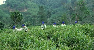 Members of Khe Nam Tea Co-operative are harvesting tea in the spring crop.