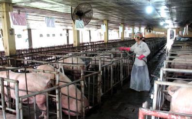 Áp dụng khoa học, kỹ thuật vào chăn nuôi theo hàng hóa và thị trường mang lại hiệu quả kinh tế cao.